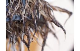 Болезни корней в гидропонике